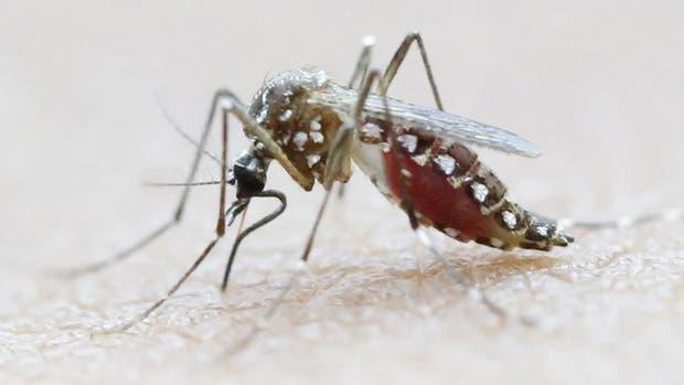 El mosquito Aedes Aegypti, transmisor del zika entre otras enfermedades