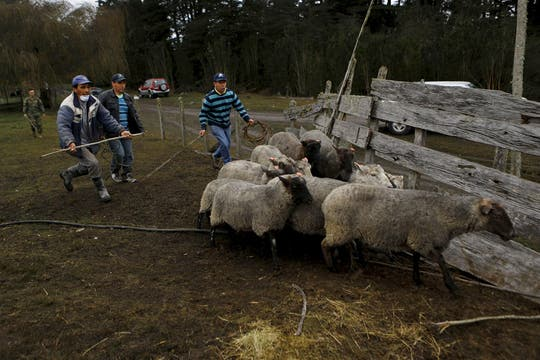 Los granjeros comienzan a evacuar a los animales. Foto: Reuters