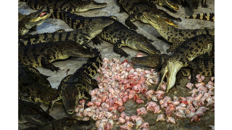 Los cocodrilos comen pollos en el zoo de Tigre de Sriracha en la provincia de Chonburi, Tailandia