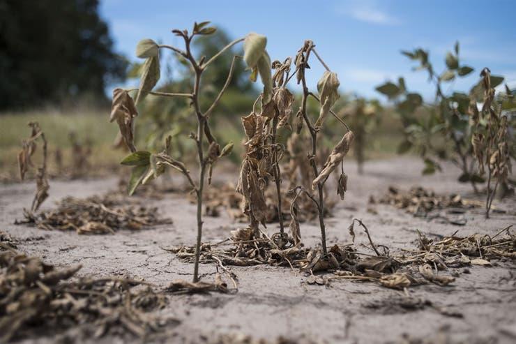La soja fue afectada por la sequía y tendrá fuertes mermas productivas