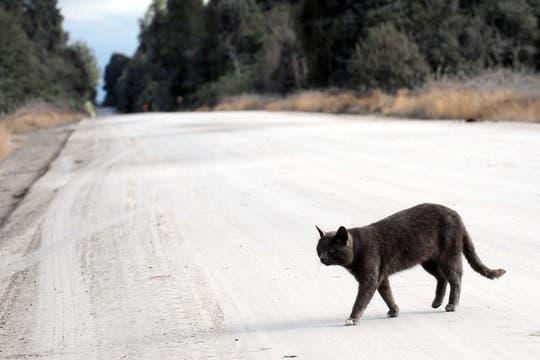 Un gato cruza un camino cubierto con ceniza del volcán Puyehue cerca de Osorno, 870 km al sur de Santiago de Chile. Foto: AFP
