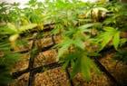 Ante la crisis, cultivar marihuana en casa