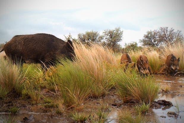 Resultado de imagen para autorizan cazar jabalíes porque son una plaga