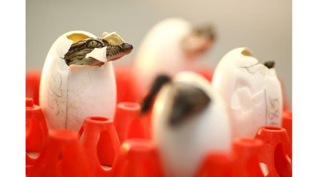 Los cocodrilos recién nacidos en la granja Sriracha en la provincia de Chonburi,