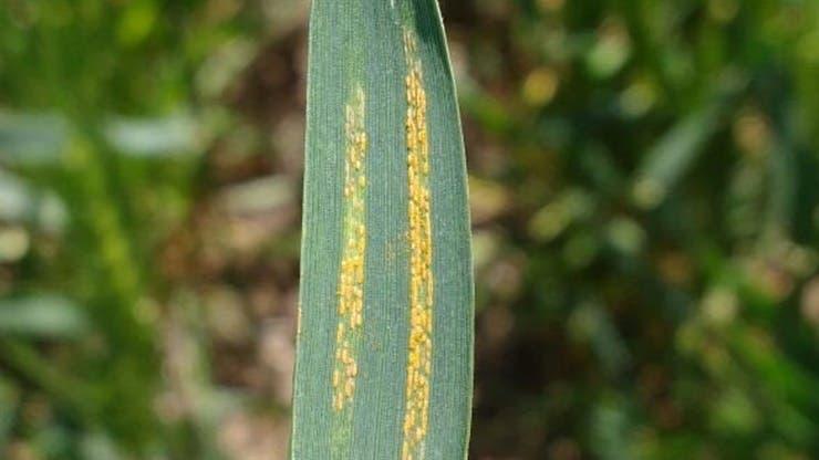 La epidemia de roya afectó a más de tres millones de hectáreas en la campaña pasada