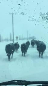 Video: la odisea de las vacas entre la nieve en EE.UU.