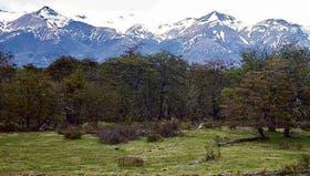 Un bosque de ñire patagónico, árbol capaz de absorber grandes cantidades de dióxido de carbono