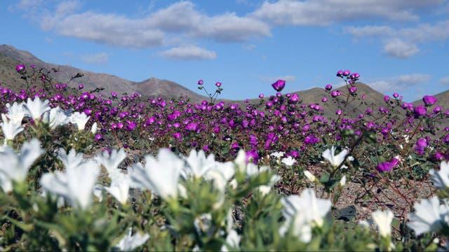 Miles de 'suspiros de campo' (nolana parradoxa) en tonos violetas y blanco y 'añañucas' amarillas (rhodophiala rhodocirion) emergen para vestir de color a la habitual palidez de sus tierras