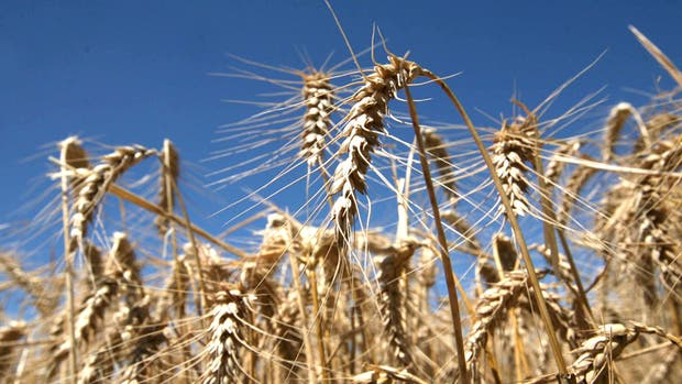 En la semana, el trigo acumuló una ganancia superior al 11% en Chicago
