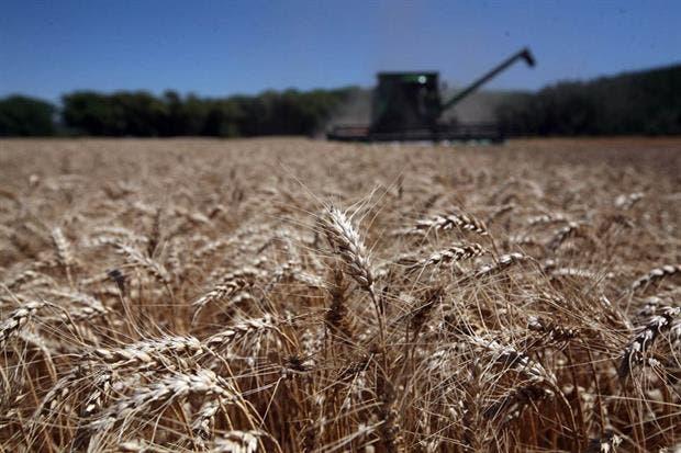 El trigo se derrumbó en EE.UU., mientras el mercado local no reflejó la volatilidad externa