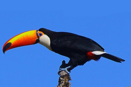 El tucán, una de las especies de aves que se encuentran en el parque. Foto: Amigos del Parque Nacional Calilegua
