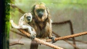 Monos carayá, principales víctimas del tráfico ilegal