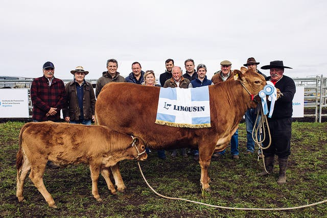 Gran Campeón Hembra Limousin, de Don Federico