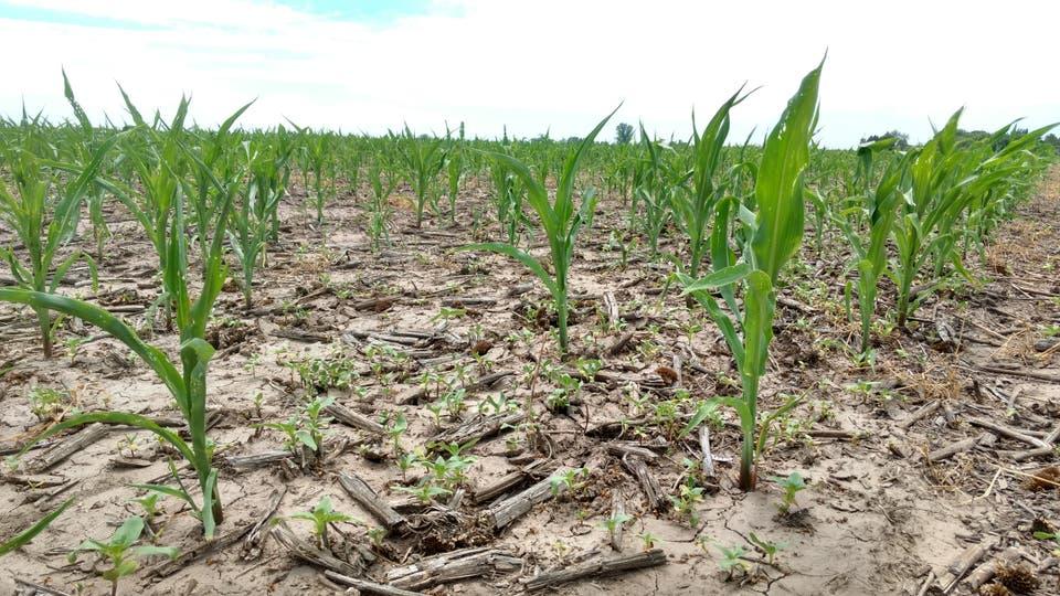 Un lote de maíz tardío con estrés hídrico en San Carlos Sur, Santa Fe