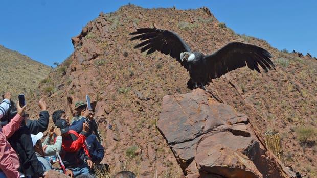 El cóndor fue liberado en un lugar de altura previamente elegido por los especialistas, en Seclantás, provincia de Salta, después de un año de rehabilitación