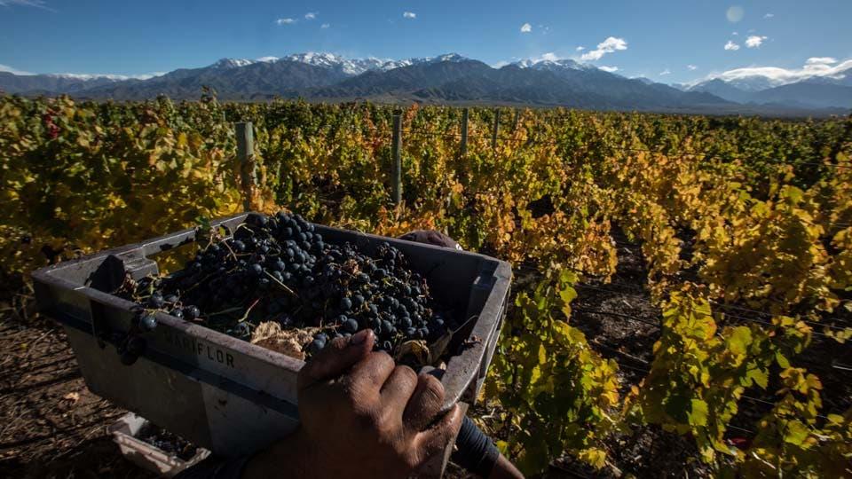 Recolección de uvas en el Valle de Uco, donde se fabrican algunos de los mejores vinos. Foto: LA NACION / Soledad Aznarez / Enviada especial