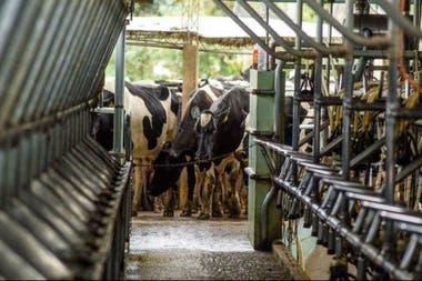 El tambo posee 500 vacas