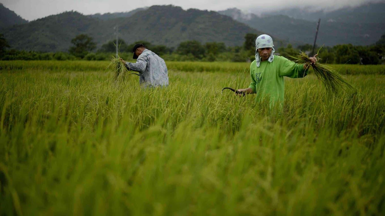 Los granos de arroz ayudarán a controlar la diabetes 2 foto: AFP