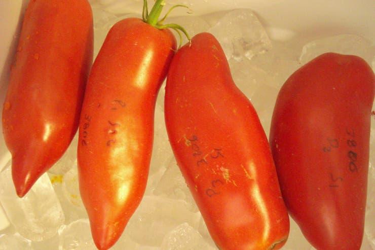 Una de las variedades no comerciales de tomates estudiados