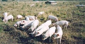 La carne de estos momentos es la más consumida mundialmente y supera a la de los vacunos