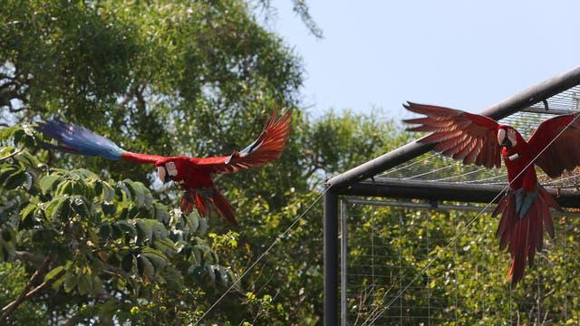 Tras desaparecer del ecosistema argentino hace 200 años, la especie regresó a Corrientes. Foto: LA NACION / Santiago Hafford