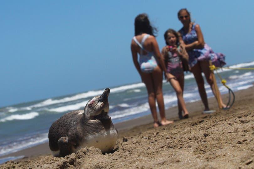 Un pingüino sorprendió a los veraneantes de Pinamar. Foto: LA NACION / Matías Aimar