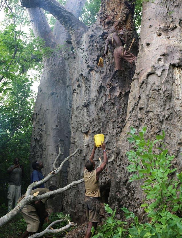 Con palos recostados contra el árbol de baobab escalan hasta llegar a donde está una colmena de abejas