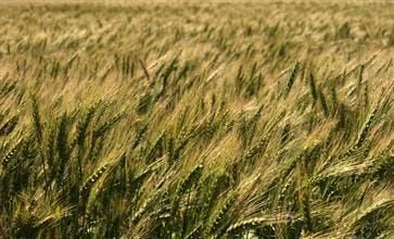 El trigo de la nueva cosecha se cotizó hasta 170 dólares por tonelada para las entregas en enero