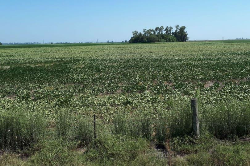 En el sur cordobés, las sojas sobre lotes de inferior calidad tienen un mayor estrés hídrico