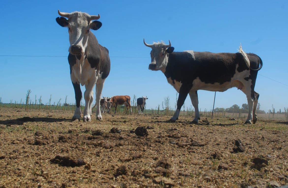 Las altas temperaturas afectan a la ganadería. Foto: Archivo