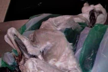 Un guanaco que llegó por avión desde Perú