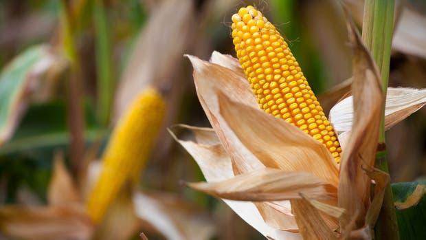 El maíz generó una transformación en la zona de Río Cuarto