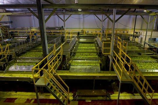 Proceso industrial de los limones. Foto: http://lamoraleja.com.ar