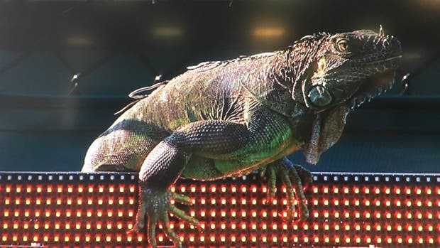 Una iguana causó suspensión de un partido en el Masters de Miami