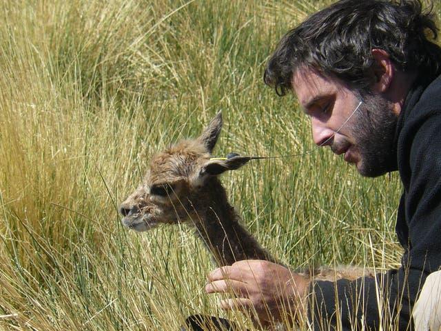 Donadío coloca un collar a una vicuña para estudiar sus comportamientos