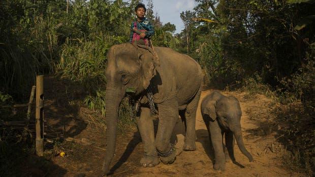 El trabajo alarga la vida de los elefantes y el ejercicio les ayuda a mantener una buena salud.