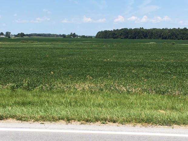 Una soja en mal estado tras la sequía en EE.UU.