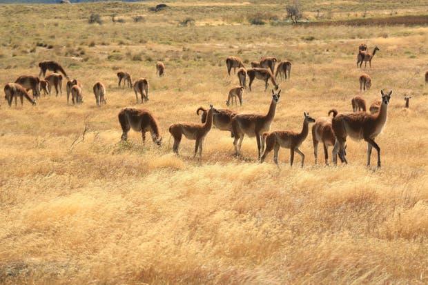 El Gobierno autorizó la comercialización de carne de guanaco