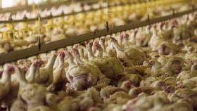 El Senasa suspendió las importaciones de alimentos avícolas y aves vivas desde Chile; se detectó un foco de influenza aviar