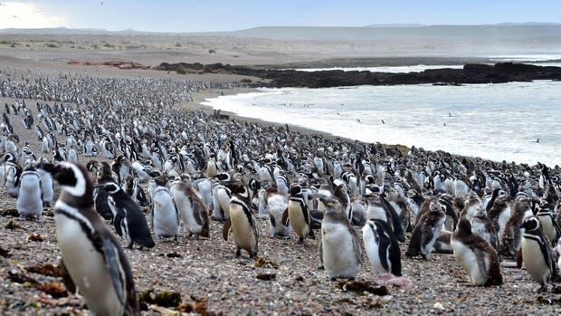 Millones de pingüinos, un espectáculo digno de ser apreciado