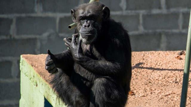 La chimpancé Cecilia, en el santuario de Brasil