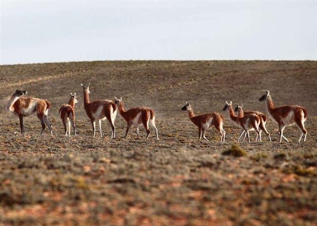 Se estima que en Santa Cruz hay 1,3 millones de guanacos