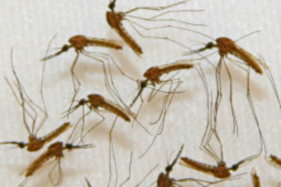Los nazis planeaban ataques con mosquitos infectados de malaria