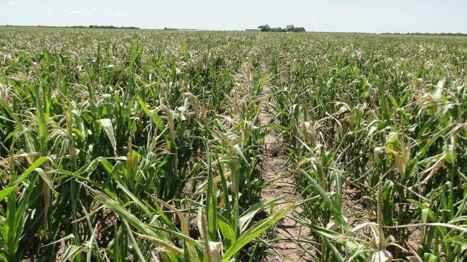 Un maíz afectado por la sequía en el norte de Córdoba