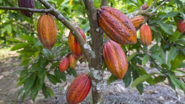 El árbol de cacao es otra de las especies abundantes cerca de los vestigios de asentamientos