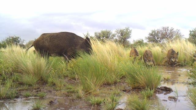 Desde junio la caza de jabalíes es legal en Carmen de Patagones