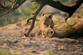 Safari, búsqueda salvaje