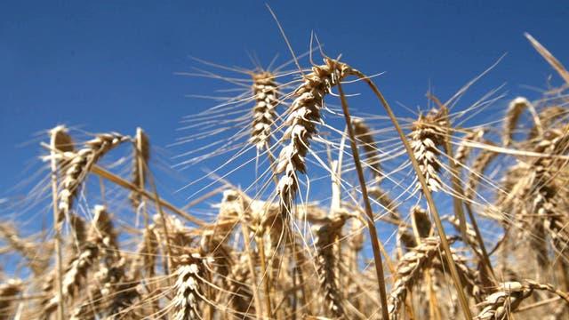 El trigo de los Estados Unidos logró quebrar ayer la tendencia bajista