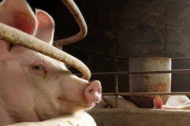 La peste porcina impacto en la producción china y en el consumo