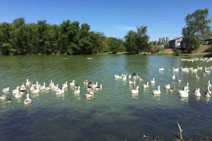 Los primeros 200 gansos que ya están en el Ceamse